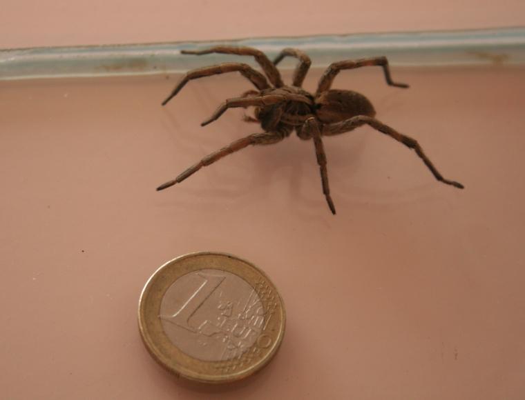 Spinnen van Noordwest-Europa - Ed Nieuwenhuys