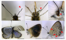 Severe abnormalities found in Fukushima Butterflies