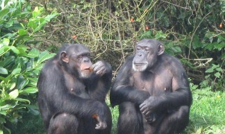 Chimps - Chester Zoo