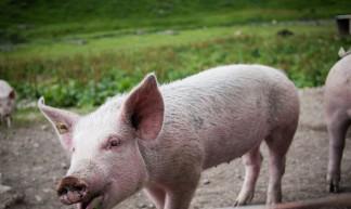 Varkens aan de boerderij in Emaney - Pieter Schepens