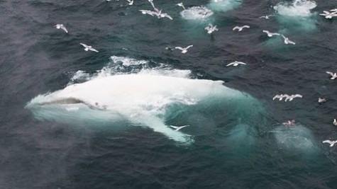 Albino Bultrug Walvis Voor De Noorse Kust Sargasso