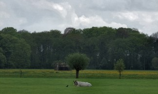 weiland met koe nabij Bunnik  - Gerard Stolk