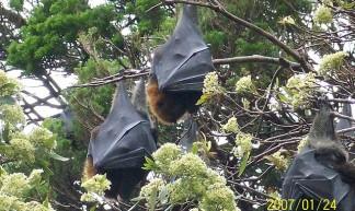 Bats in Sydney Botanical Gardens - Leonora Enking