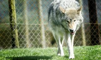 Bad Wolf - @Doug88888