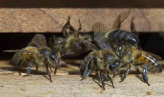 Bijen terug vd hei - webted