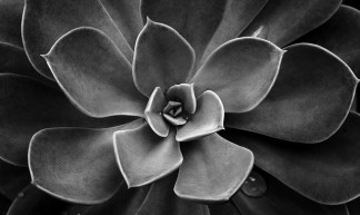 184/365 Echevaria Stuy in Black and White - Christian