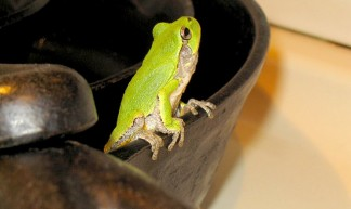 tree_frog_pan_fire_750 - clocker