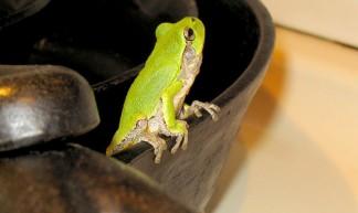 tree_frog_pan_fire_750 - clocker