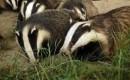 Omstreden dassenjacht in Engeland