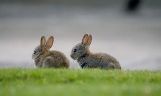 Rabbits - Nicholas Devenish