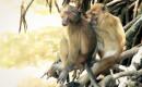 Goed zijn in verstoppertje leidt tot meer seks bij java-apen