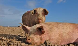 Pigs - Raj