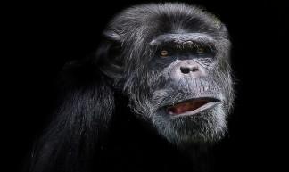 Chimpanzee - Patrick Bouquet