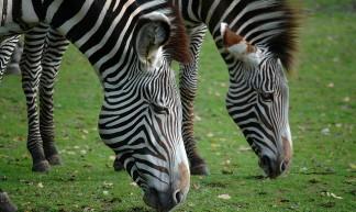 Zebra - Marieke IJsendoorn-Kuijpers
