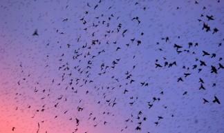 Grackle Swarm - Adam Baker