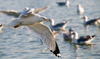 Seagull Flying over the duck pond - Don DeBold