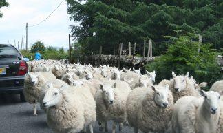 Sheep on the road - Alexandre Dulaunoy