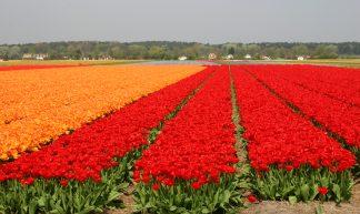 Bollenvelden rond Noordwijk - Martha de Jong-Lantink