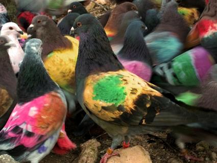 cc Flickr jacinta lluch valero photostream Suelta y Hembreo de las palomas pintadas