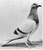 cc commons.wikimedia.org File Pigeon William of Orange