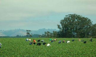 Workers Picking Strawberries - Donna Sutton
