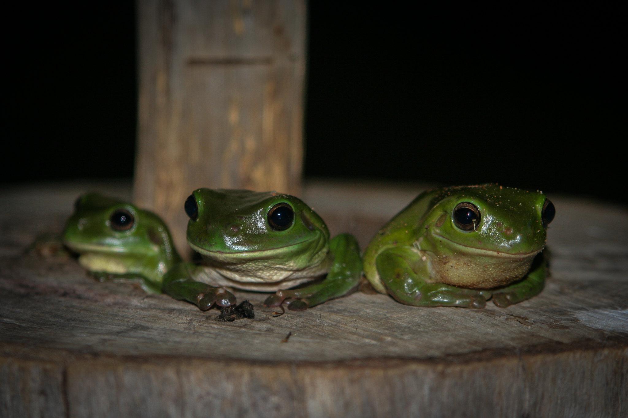 three frogs - Tobias Begemann