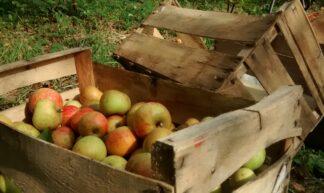 Apples in Crates - Atelerix Skye