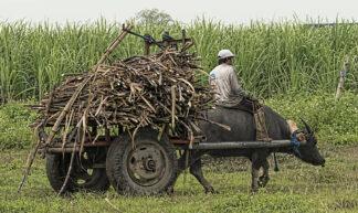 Harvest Time - Sugar Cane Philippines - Brian Evans